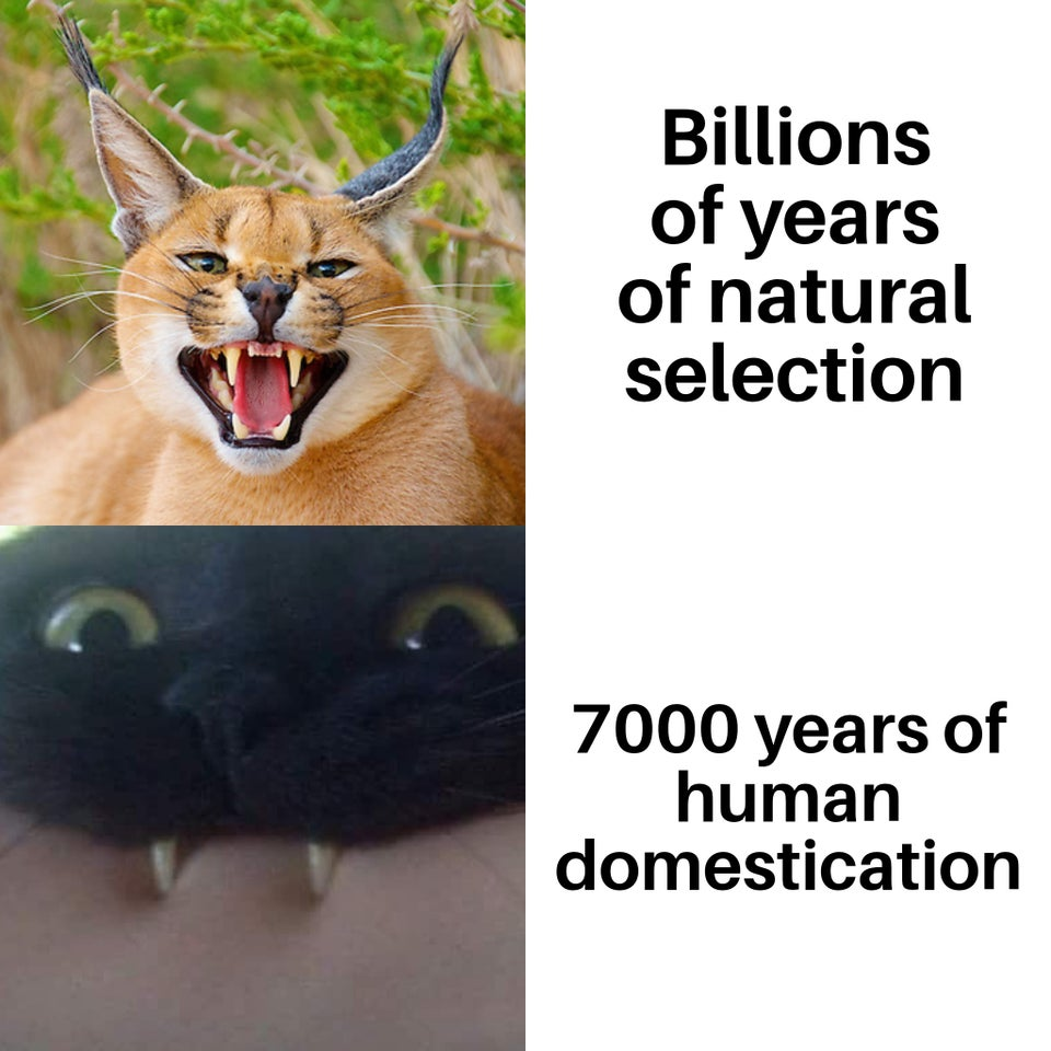 Billions of years of natural selection versus 7000 years of human domestication of cats.