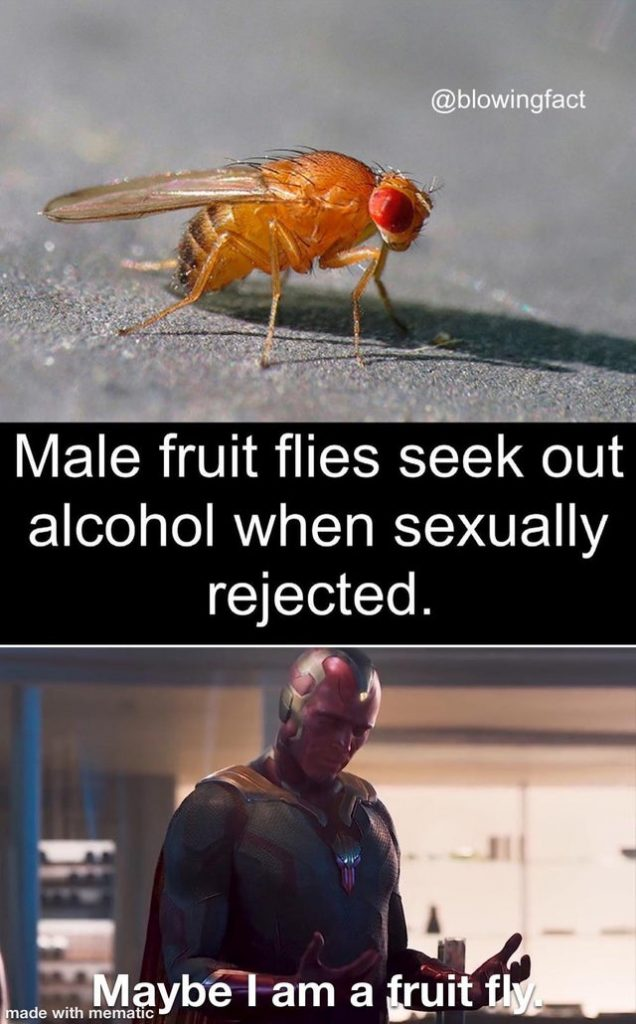 Male fruit flies seek out alcohol when sexually rejected. Maybe I am a fruit fly.